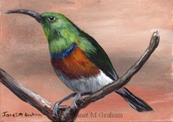 Art: Greater Double collared Sunbird ACEO by Artist Janet M Graham