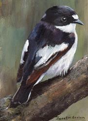 Art: Piep Flycatcher ACEO by Artist Janet M Graham