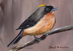 Art: Black Goggled Tanager ACEO by Artist Janet M Graham