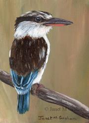 Art: Striped Kingfisher ACEO by Artist Janet M Graham