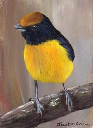 Art: Tawny Capped Euphonia ACEO by Artist Janet M Graham