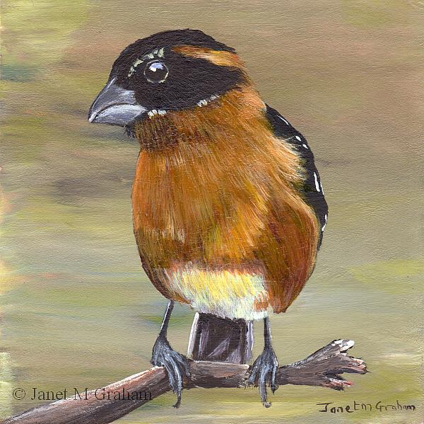 Art: Black Headed Grosbeak by Artist Janet M Graham