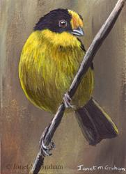 Art: Pale Naped Brush Finch ACEO by Artist Janet M Graham