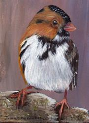 Art: Harris's Sparrow ACEO by Artist Janet M Graham
