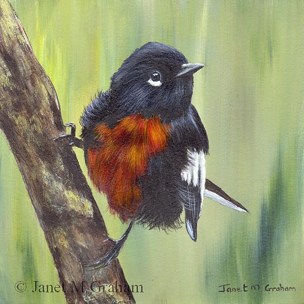 Art: Painted Redstart by Artist Janet M Graham