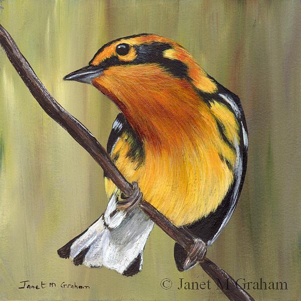 Art: . Blackburnian Warbler by Artist Janet M Graham