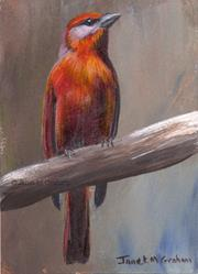 Art: Hepatic Tanager ACEO by Artist Janet M Graham