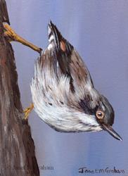 Art: Varied Sittella ACEO by Artist Janet M Graham