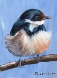Art: White Throated Swallow ACEO by Artist Janet M Graham