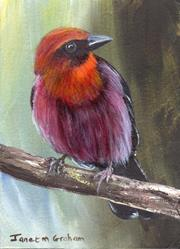Art: Red Throated Ant Tanager ACEO by Artist Janet M Graham