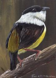 Art: White Collared Manakin ACEO M by Artist Janet M Graham