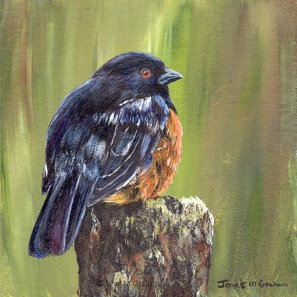 Art: Spotted Towhee by Artist Janet M Graham