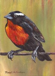 Art: White Browed Blackbird ACEO by Artist Janet M Graham