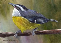 Art: Bananaquit ACEO by Artist Janet M Graham