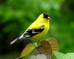 Art: Goldfinch by Artist Leea Baltes