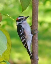 Art: Downy Woodpecker by Artist Leea Baltes