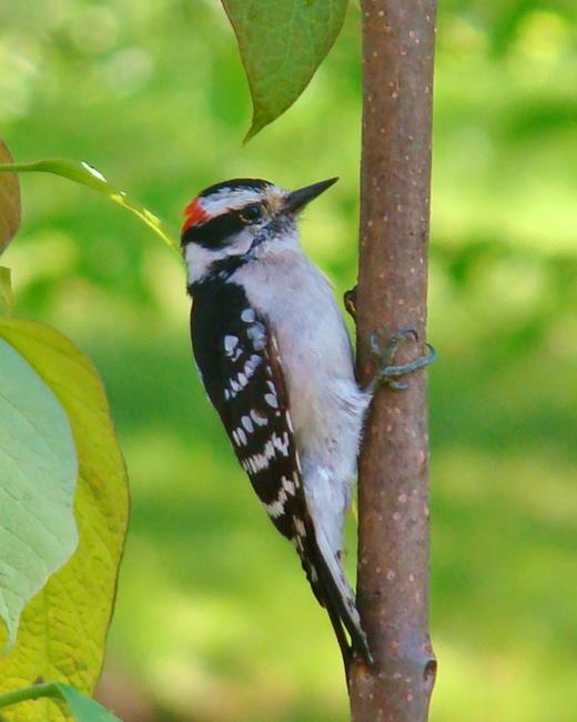 Art: Downy Woodpecker by Artist Leea Baltes