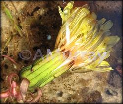 Art: Drowning in the Sea of Love - Dandelion by Artist Ann Murray