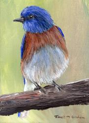 Art: Western Bluebird ACEO by Artist Janet M Graham