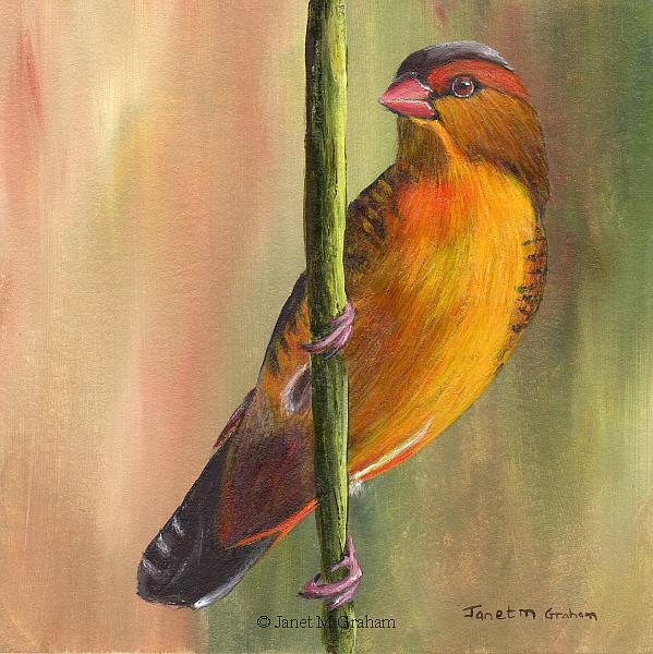Art: Orange Breasted Waxbill by Artist Janet M Graham