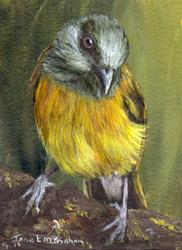 Art: Grey Headed Tanager ACEO by Artist Janet M Graham