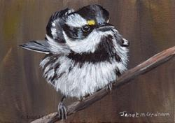 Art: Black Throated Gray Warbler ACEO by Artist Janet M Graham