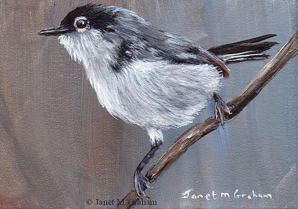 Art: Black Tailed Gnatcatcher ACEO by Artist Janet M Graham