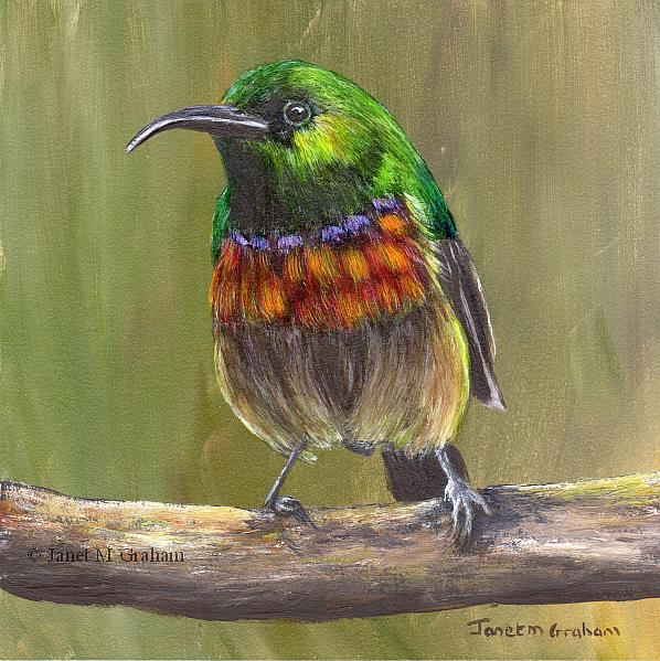 Art: Forest Double Collared Sunbird by Artist Janet M Graham