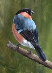 Art: Bullfinch by Artist Janet M Graham