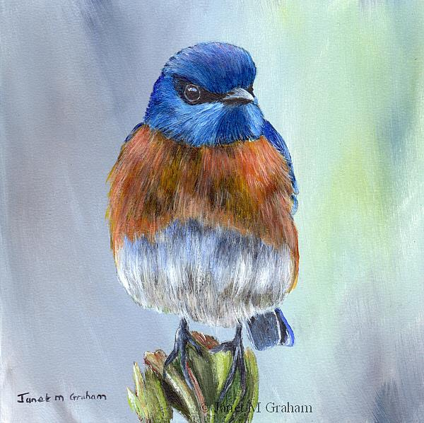 Art: Western Bluebird by Artist Janet M Graham