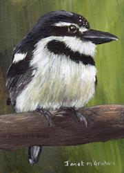 Art: Pied Puffbird ACEO by Artist Janet M Graham