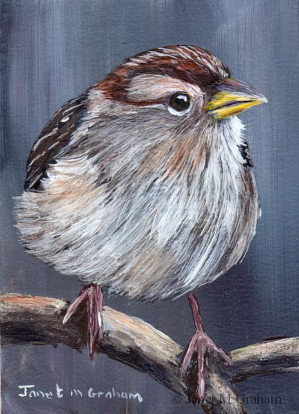 Art: White Crowned Sparrow ACEO by Artist Janet M Graham