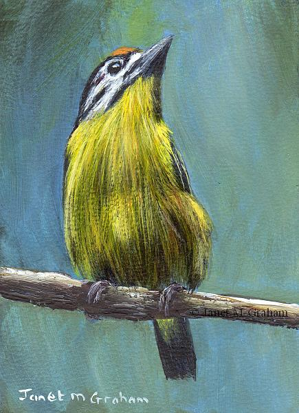 Art: Yellow Fronted Tinkerbird ACEO by Artist Janet M Graham