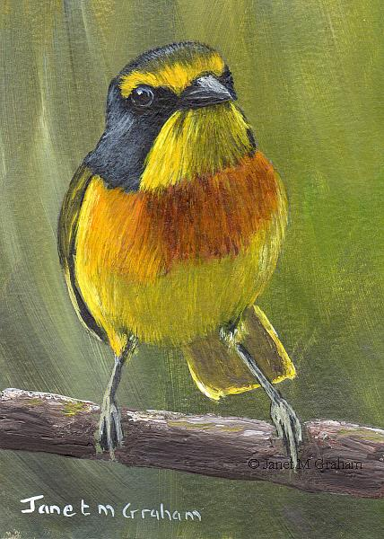 Art: Sulphur breasted Bushshrike ACEO by Artist Janet M Graham