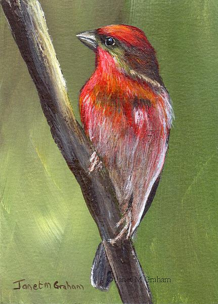 Art: Common Rosefinch ACEO by Artist Janet M Graham