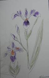 Art: japanese iris by Artist Nancy Denommee