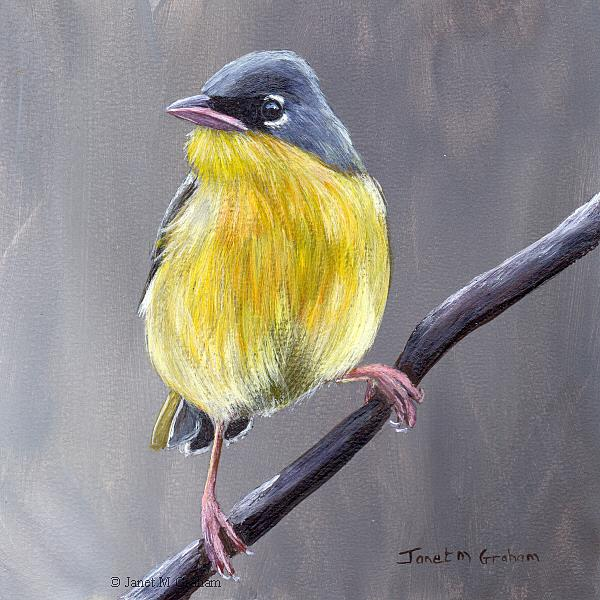 Art: Grey Crowned Yellowthroat by Artist Janet M Graham