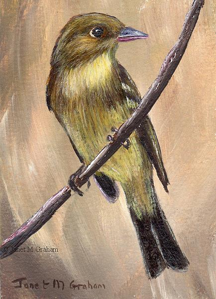Art: Pacific Slope Flycatcher ACEO by Artist Janet M Graham