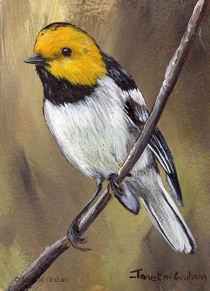 Art: Hermit Warbler ACEO by Artist Janet M Graham