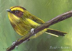 Art: Golden Browed Warbler ACEO by Artist Janet M Graham