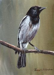 Art: Hooded Robin ACEO by Artist Janet M Graham