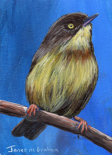 Art: Burnt Necked Eremomela ACEO by Artist Janet M Graham