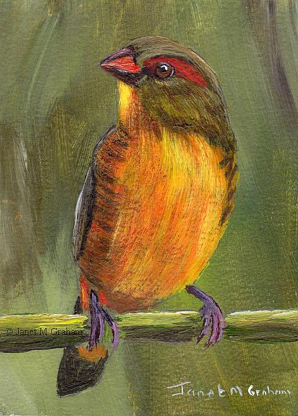 Art: Orange Breasted Waxbill ACEO by Artist Janet M Graham
