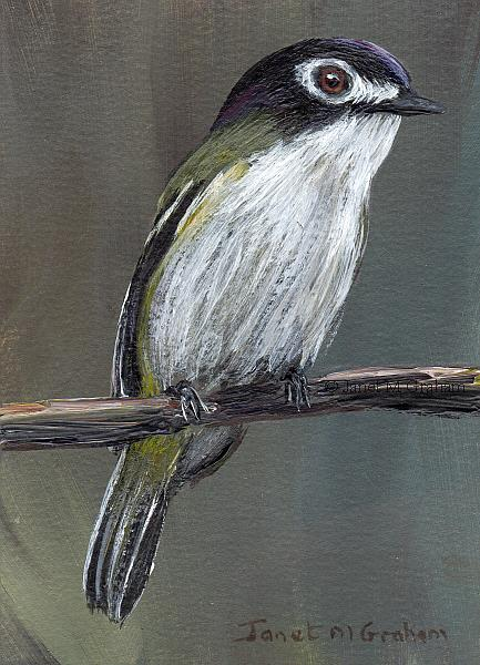 Art: Black Capped Vireo ACEO by Artist Janet M Graham