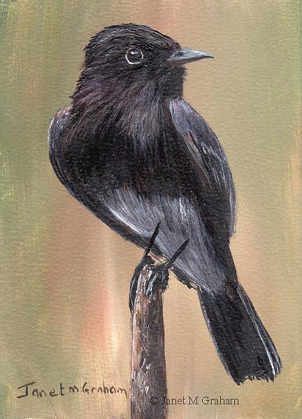 Art: Black Phoebe ACEO by Artist Janet M Graham