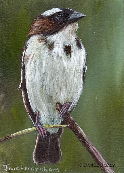 Art: White Browed Sparrow Weaver ACEO by Artist Janet M Graham