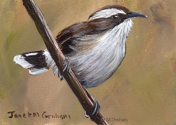 Art: White Browed Babbler ACEO by Artist Janet M Graham