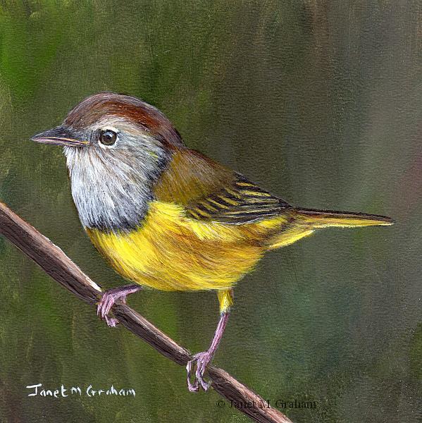 Art: Macgillivray's Warbler by Artist Janet M Graham