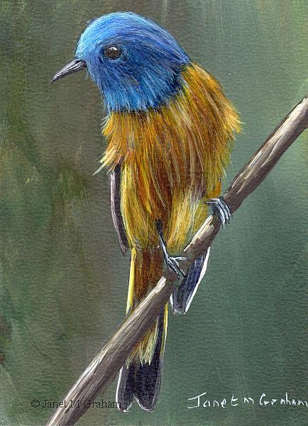 Art: Blue Fronted Redstart ACEO by Artist Janet M Graham