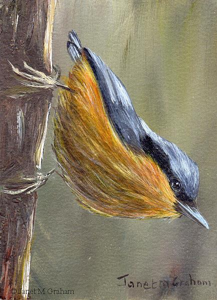 Art: White Tailed Nuthatch ACEO by Artist Janet M Graham